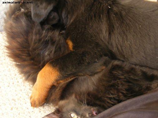 Köpekleri Saldıran Bir Kedi Nasıl Durdurulur - Kediler