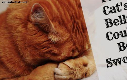 संभावित कारण क्यों आपकी बिल्ली एक सूजन पेट या पेट है - बिल्ली की