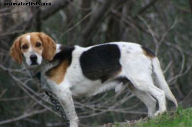 Hur du tränar din dofthund att komma när du ringer