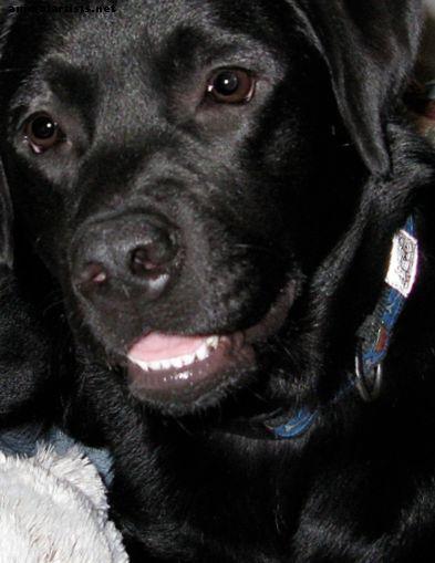 Labrador Retrievers: maravillosas mascotas familiares y compañeros - Perros