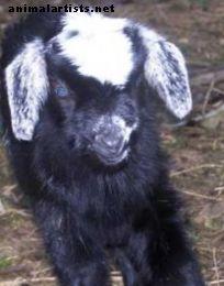 Geriausi jūsų augintinės ožkos vardai