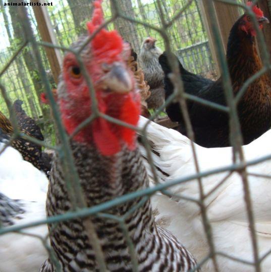 Cómo cuidar a los pollos en climas fríos - Animales de granja como mascotas