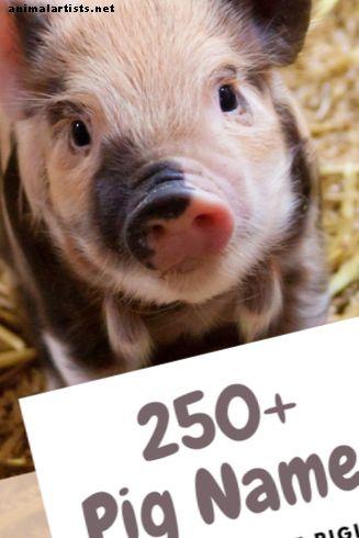 250+ imena kućnih svinja za vašu malu prasad (od Alberta do Wallyja)