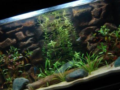 Elustaimed akvaariumis: kalajuht
