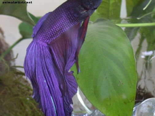 Betta Fish Supplies List - Peixes e aquários