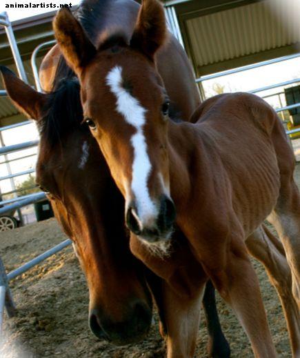 Forberedelse på at levere et føl: En hestebreders otte følelsesfaser - Heste