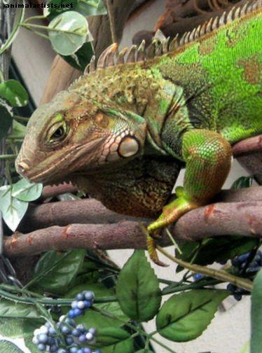 Reptiler og amfibier - 11 ting, du skal overveje, før du vedtager et kæledyr grønt leguan